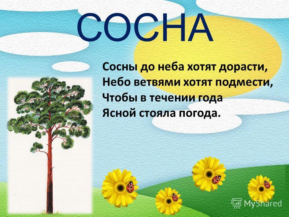 СОСНА Сосны до неба хотят дорасти, Небо ветвями хотят подмести, Чтобы в течении года Ясной стояла погода.