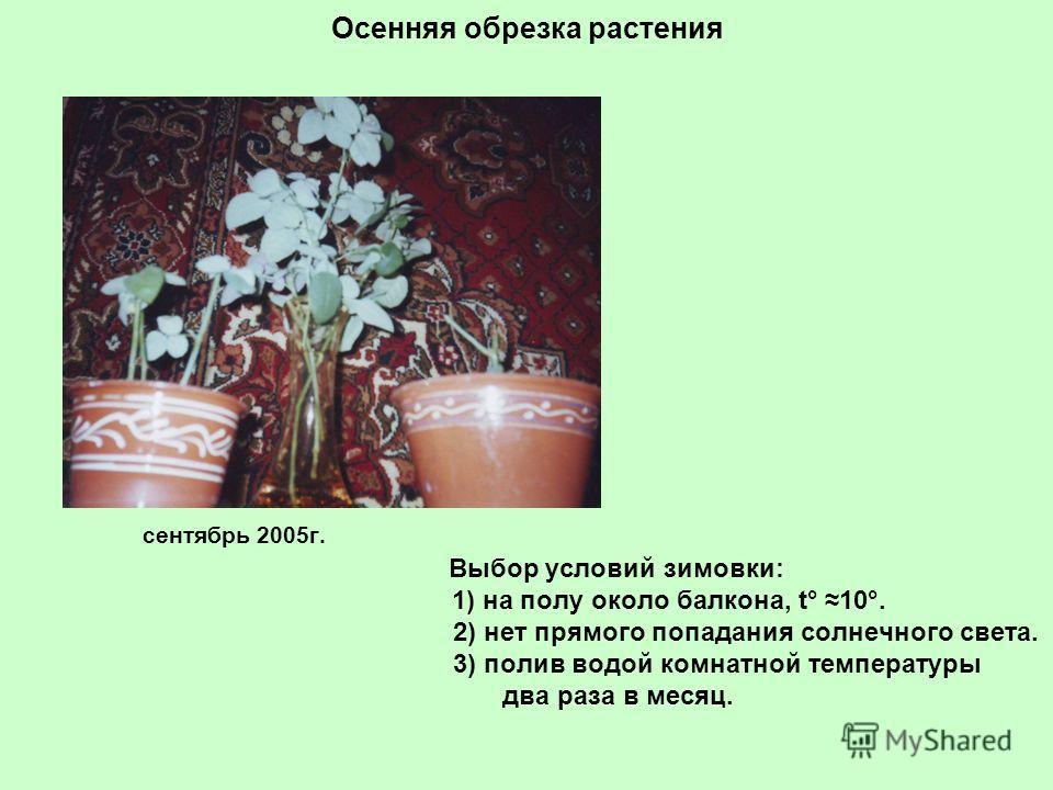 Осенняя обрезка растения сентябрь 2005г. Выбор условий зимовки: 1) на полу около балкона, t° 10°. 2) нет прямого попадания солнечного света. 3) полив водой комнатной температуры два раза в месяц.