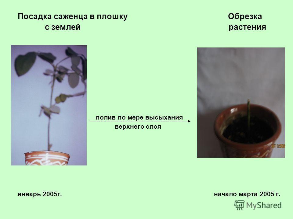 Посадка саженца в плошку Обрезка с землей растения полив по мере высыхания верхнего слоя январь 2005г. начало марта 2005 г.