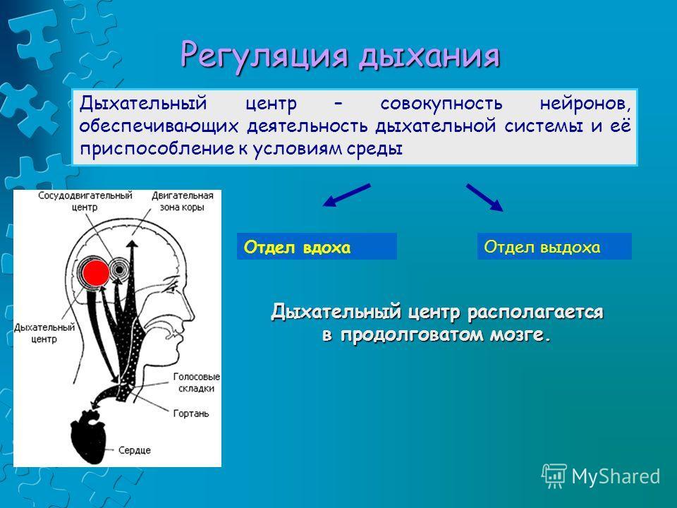Регуляция дыхания Дыхательный центр – совокупность нейронов, обеспечивающих деятельность дыхательной системы и её приспособление к условиям среды. Отдел вдохаОтдел выдоха Дыхательный центр располагается в продолговатом мозге.