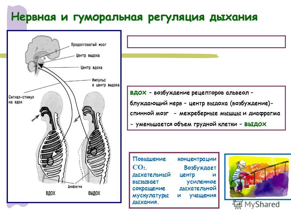 Нервная и гуморальная регуляция дыхания вдох – возбуждение рецепторов альвеол – блуждающий нерв – центр выдоха (возбуждение)- спинной мозг - межреберные мышцы и диафрагма - уменьшается объем грудной клетки – выдох Повышение концентрации СО 2, Возбужд
