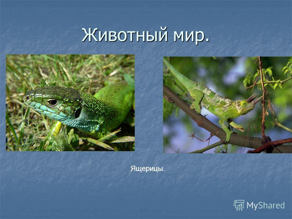 Животный мир. Ящерицы.