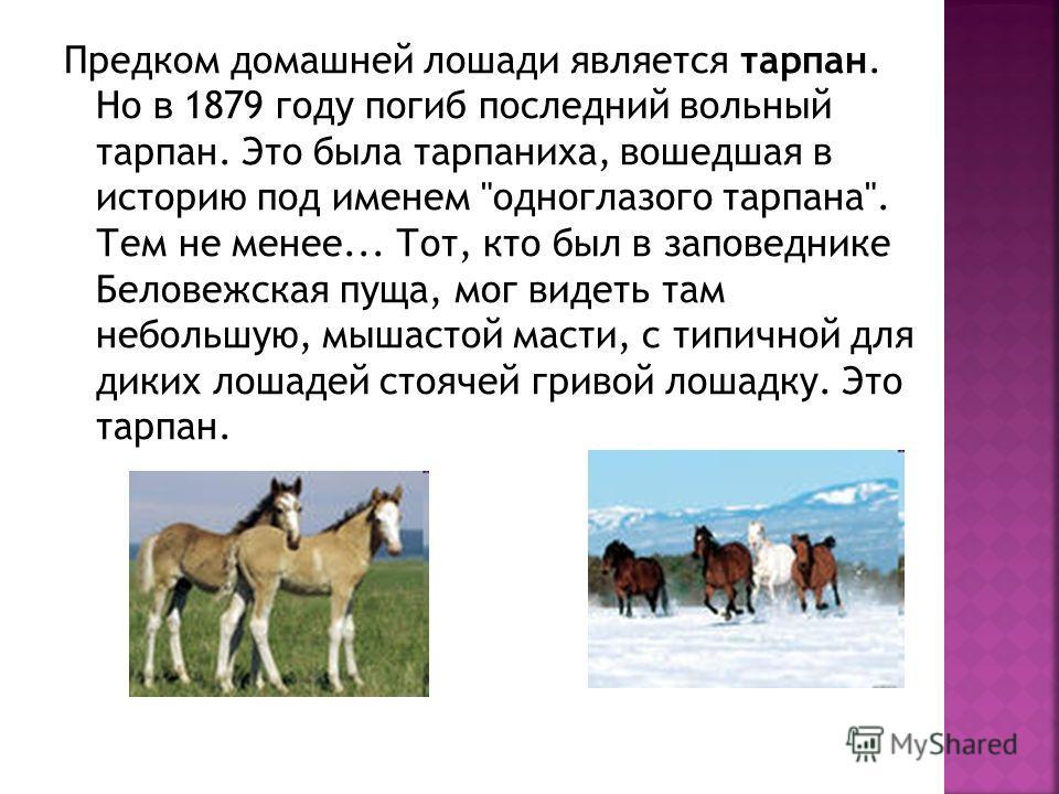 Предком домашней лошади является тарпан. Но в 1879 году погиб последний вольный тарпан. Это была тарпаниха, вошедшая в историю под именем