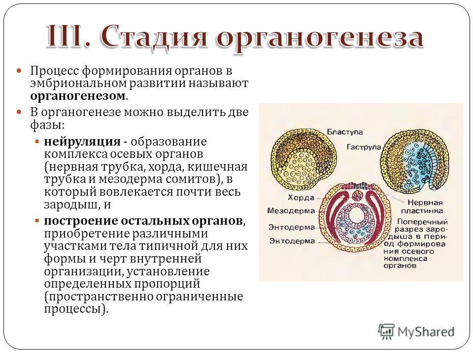 Процесс формирования органов в эмбриональном развитии называют органогенезом. В органогенезе можно выделить две фазы : нейруляция - образование комплекса осевых органов ( нервная трубка, хорда, кишечная трубка и мезодерма сомитов ), в который вовлека