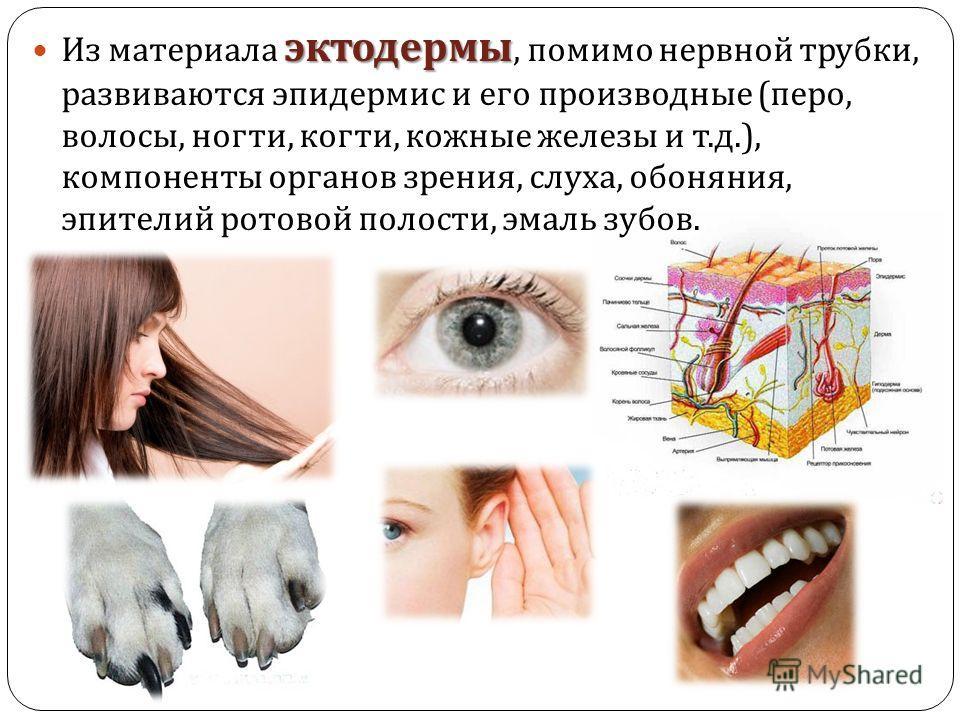 эктодермы Из материала эктодермы, помимо нервной трубки, развиваются эпидермис и его производные ( перо, волосы, ногти, когти, кожные железы и т. д.), компоненты органов зрения, слуха, обоняния, эпителий ротовой полости, эмаль зубов.