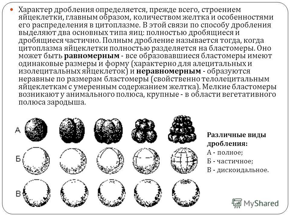 Характер дробления определяется, прежде всего, строением яйцеклетки, главным образом, количеством желтка и особенностями его распределения в цитоплазме. В этой связи по способу дробления выделяют два основных типа яиц : полностью дробящиеся и дробящи