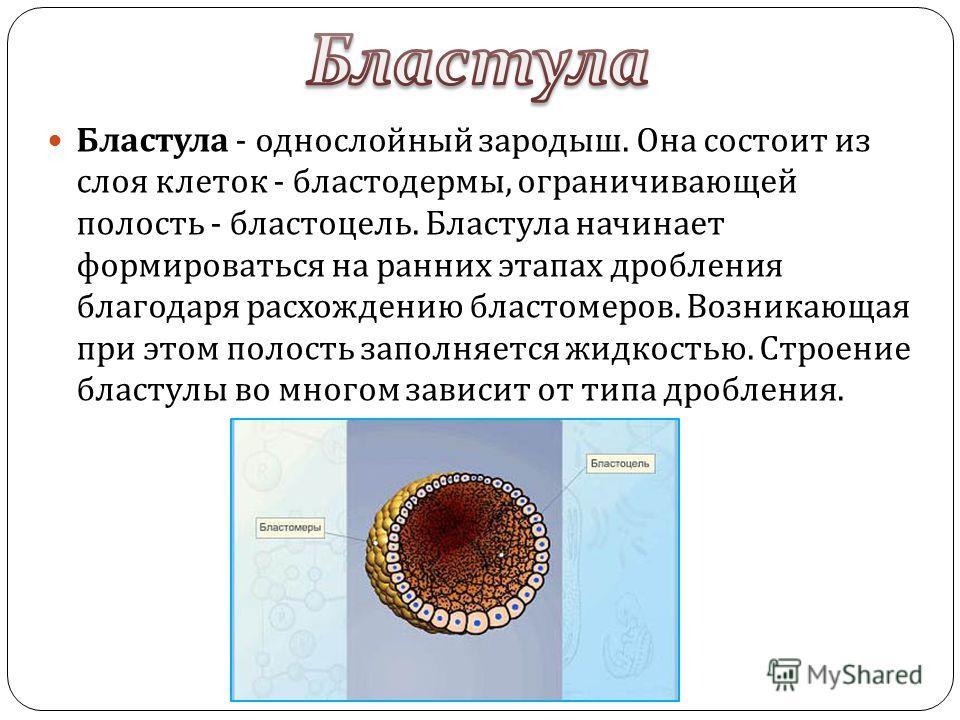 Бластула - однослойный зародыш. Она состоит из слоя клеток - бластодермы, ограничивающей полость - бластоцель. Бластула начинает формироваться на ранних этапах дробления благодаря расхождению бластомеров. Возникающая при этом полость заполняется жидк