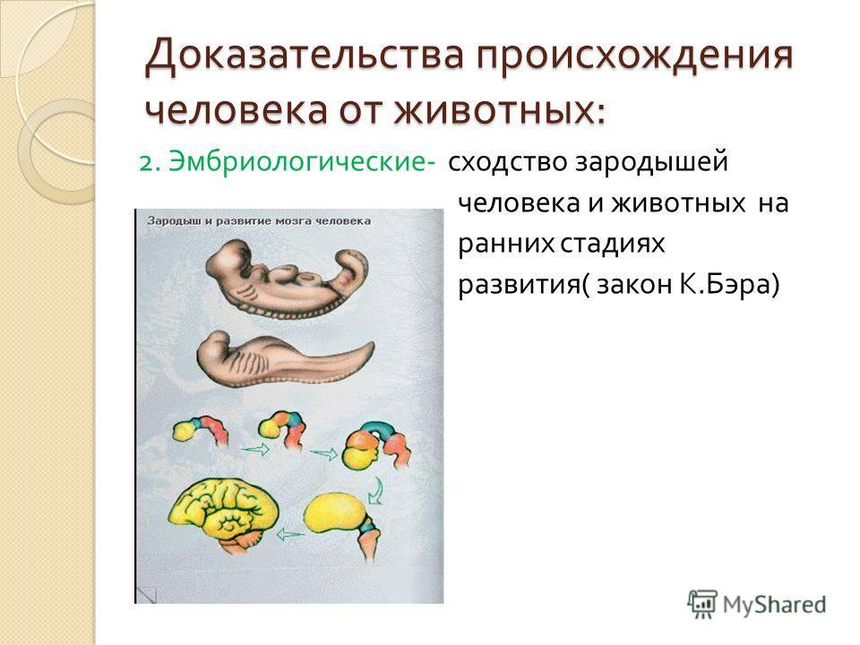 Доказательства происхождения человека от животных : 2. Эмбриологические - сходство зародышей человека и животных на ранних стадиях развития ( закон К. Бэра )