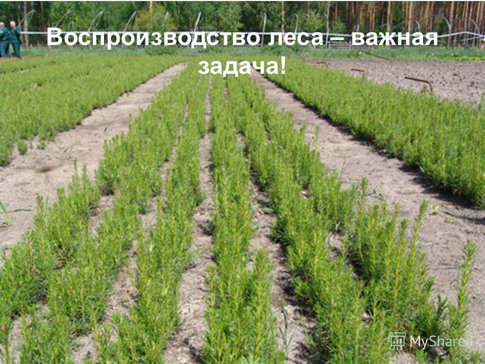 Воспроизводство леса – важная задача!