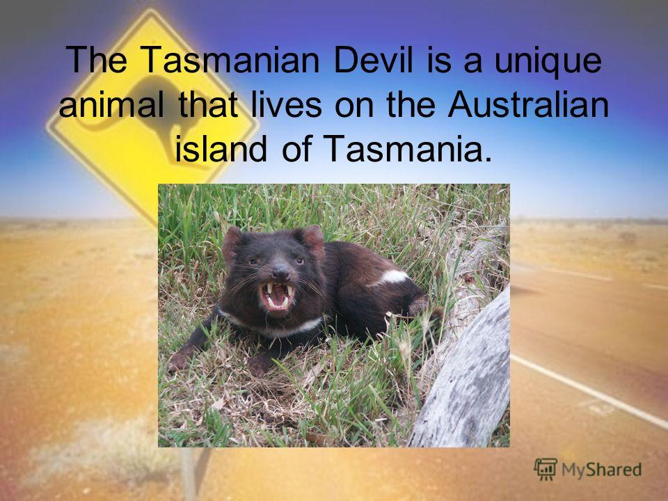 The Tasmanian Devil is a unique animal that lives on the Australian island of Tasmania.