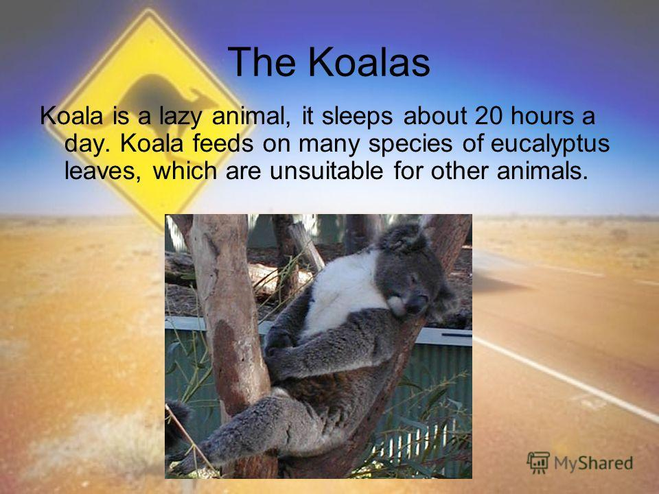 The Koalas Koala is a lazy animal, it sleeps about 20 hours a day. Koala feeds on many species of eucalyptus leaves, which are unsuitable for other animals.