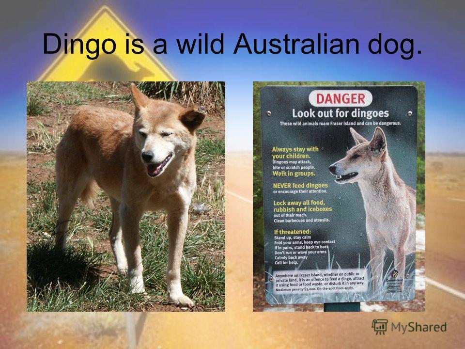 Dingo is a wild Australian dog.