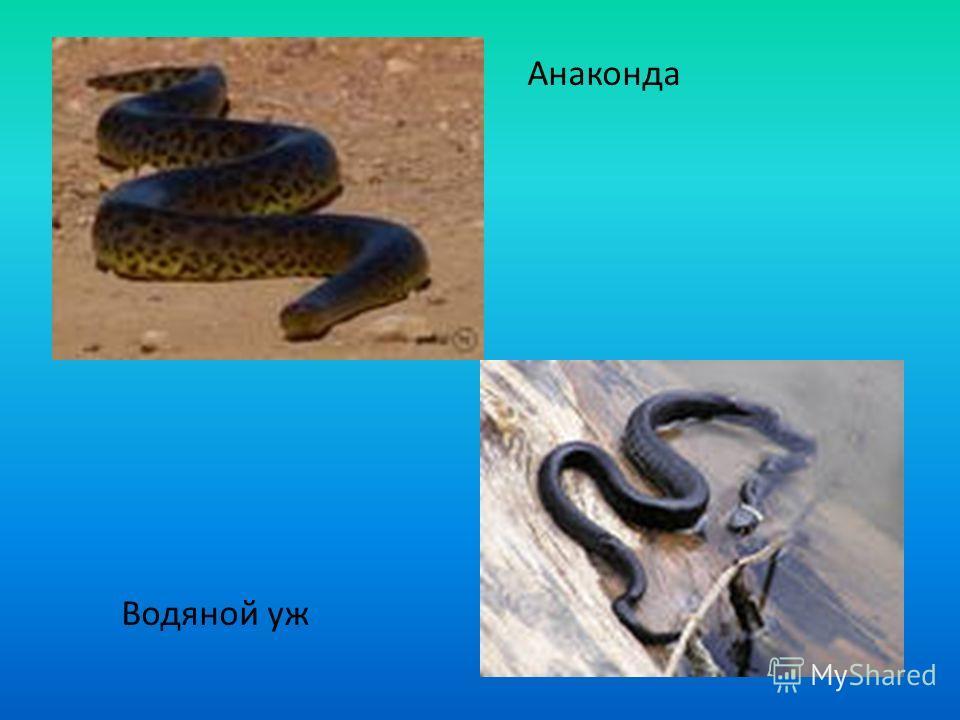 Анаконда Водяной уж