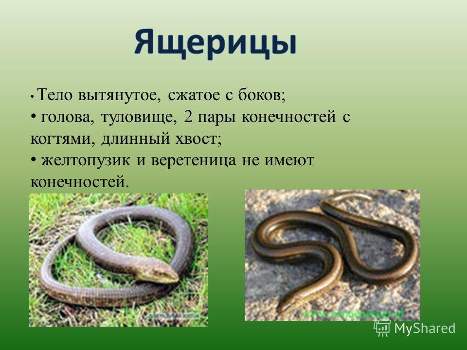 Тело вытянутое, сжатое с боков; голова, туловище, 2 пары конечностей с когтями, длинный хвост; желтопузик и веретеница не имеют конечностей.