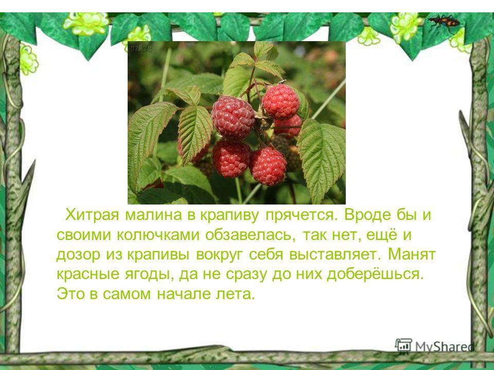Хитрая малина в крапиву прячется. Вроде бы и своими колючками обзавелась, так нет, ещё и дозор из крапивы вокруг себя выставляет. Манят красные ягоды, да не сразу до них доберёшься. Это в самом начале лета.