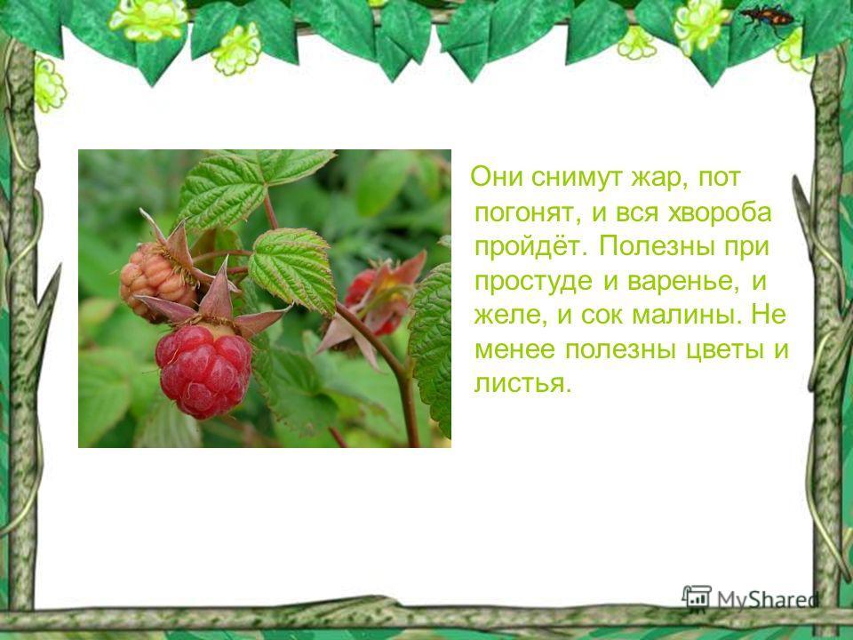 Они снимут жар, пот погонят, и вся хвороба пройдёт. Полезны при простуде и варенье, и желе, и сок малины. Не менее полезны цветы и листья.