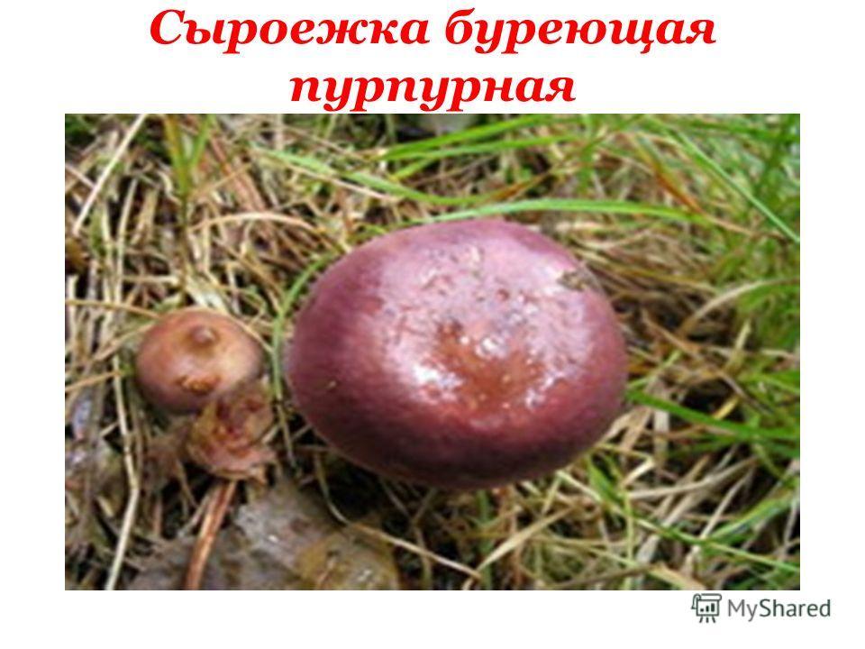 Сыроежка буреющая пурпурная