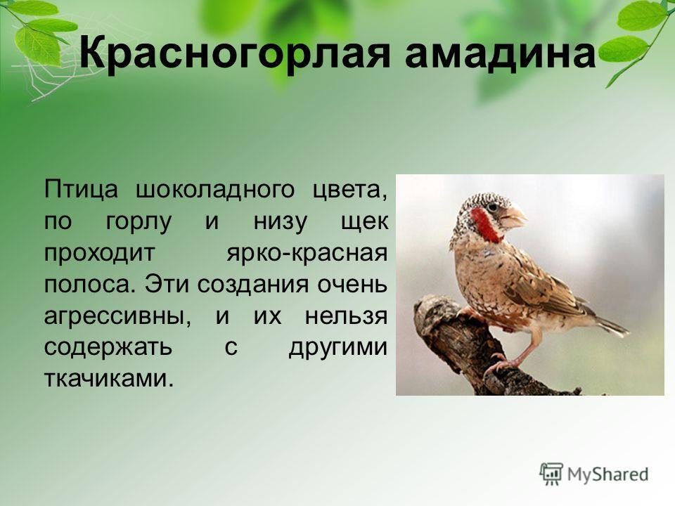 Красногорлая амадина Птица шоколадного цвета, по горлу и низу щек проходит ярко-красная полоса. Эти создания очень агрессивны, и их нельзя содержать с другими ткачиками.