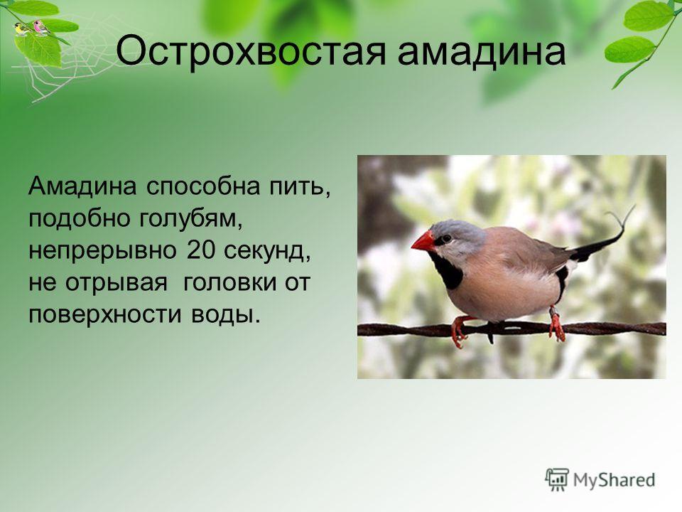 Острохвостая амадина Амадина способна пить, подобно голубям, непрерывно 20 секунд, не отрывая головки от поверхности воды.