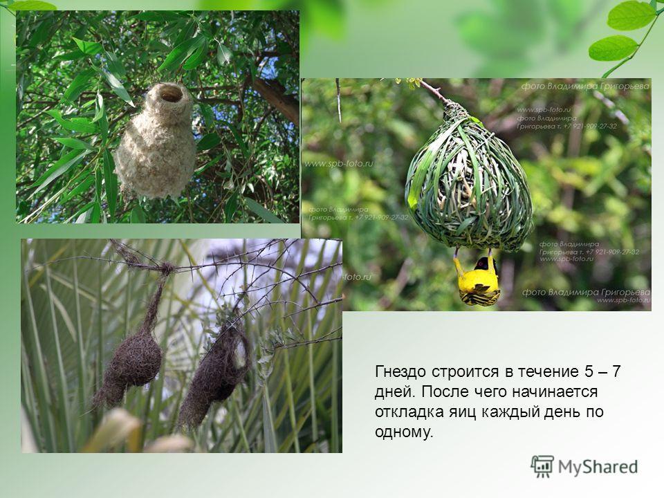 Гнездо строится в течение 5 – 7 дней. После чего начинается откладка яиц каждый день по одному.