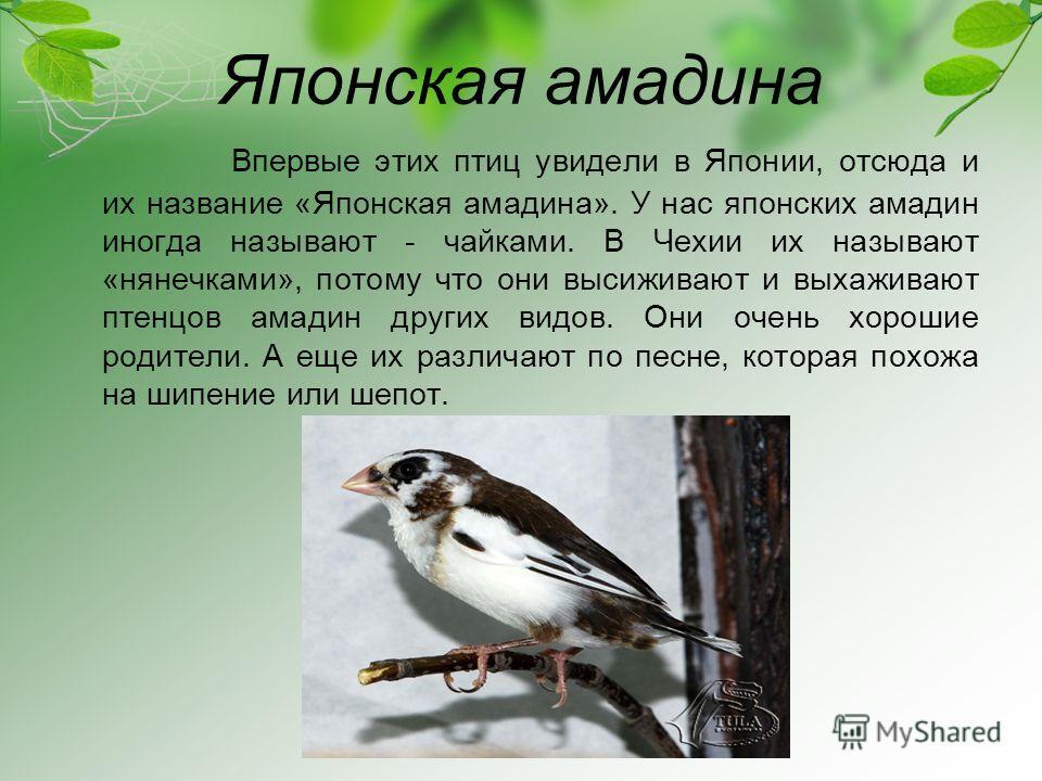 Японская амадина Впервые этих птиц увидели в Японии, отсюда и их название «Японская амадина». У нас японских амадин иногда называют - чайками. В Чехии их называют «нянечками», потому что они высиживают и выхаживают птенцов амадин других видов. Они оч