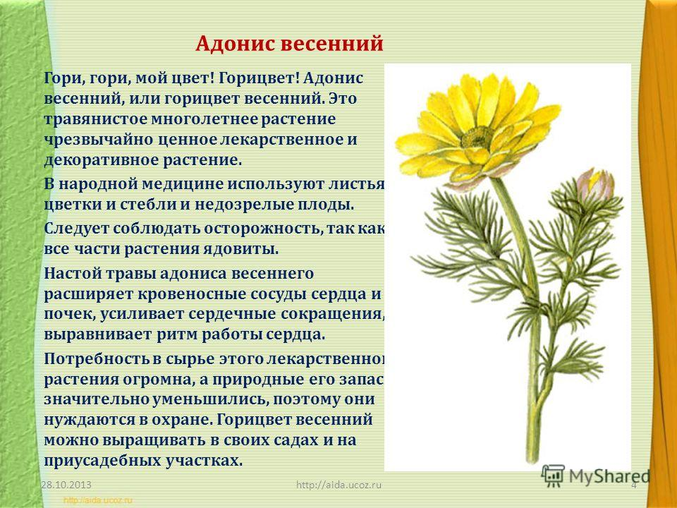 Адонис весенний Гори, гори, мой цвет! Горицвет! Адонис весенний, или горицвет весенний. Это травянистое многолетнее растение чрезвычайно ценное лекарственное и декоративное растение. В народной медицине используют листья, цветки и стебли и недозрелые
