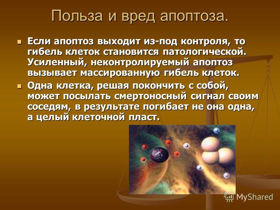 Польза и вред апоптоза. Если апоптоз выходит из-под контроля, то гибель клеток становится патологической. Усиленный, неконтролируемый апоптоз вызывает массированную гибель клеток. Если апоптоз выходит из-под контроля, то гибель клеток становится пато