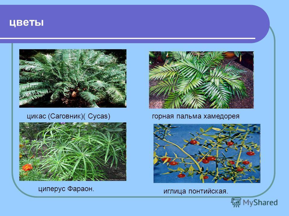 цветы цикас (Саговник)( Cycas) горная пальма хамедорея циперус Фараон. иглица понтийская.