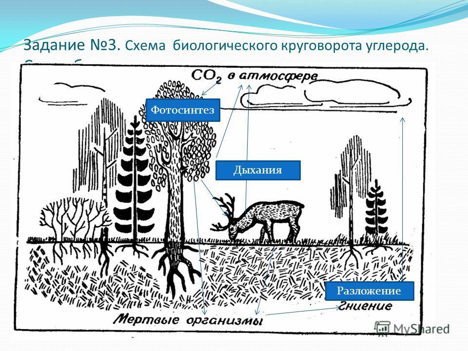 Задание 3. Схема биологического круговорота углерода. Схема биологического круговорота углерода. Фотосинтез Дыхания Разложение