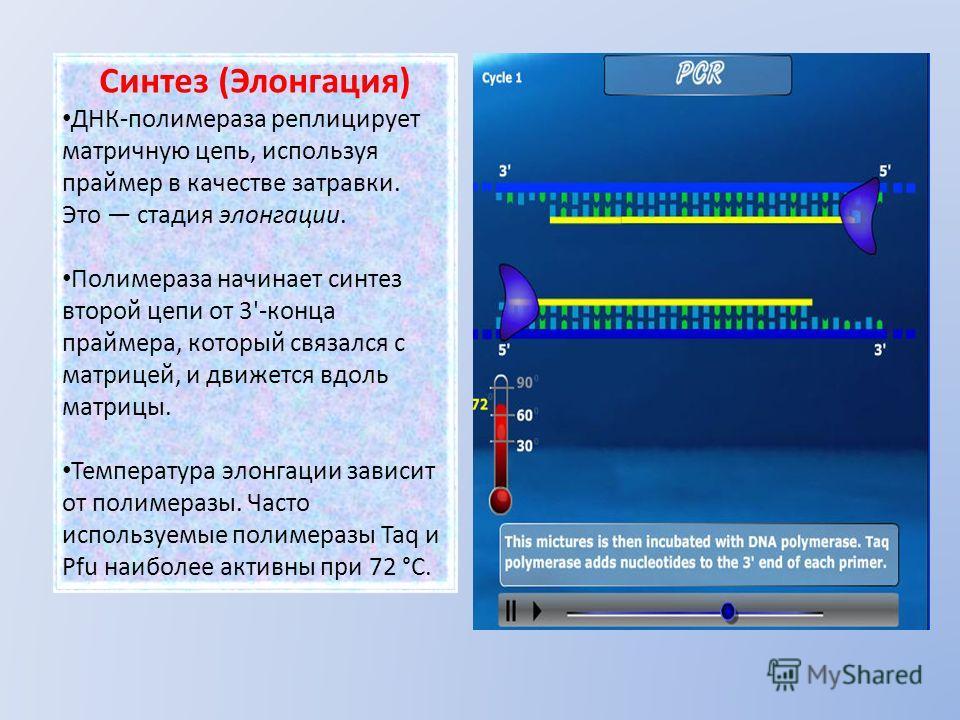 Синтез (Элонгация) ДНК-полимераза реплицирует матричную цепь, используя праймер в качестве затравки. Это стадия элонгации. Полимераза начинает синтез второй цепи от 3'-конца праймера, который связался с матрицей, и движется вдоль матрицы. Температура