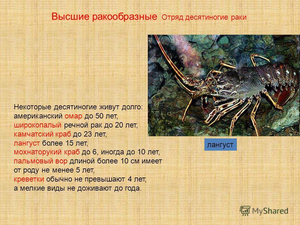 лангуст Некоторые десятиногие живут долго: американский омар до 50 лет, широкопалый речной рак до 20 лет, камчатский краб до 23 лет, лангуст более 15 лет, мохнаторукий краб до 6, иногда до 10 лет, пальмовый вор длиной более 10 см имеет от роду не мен