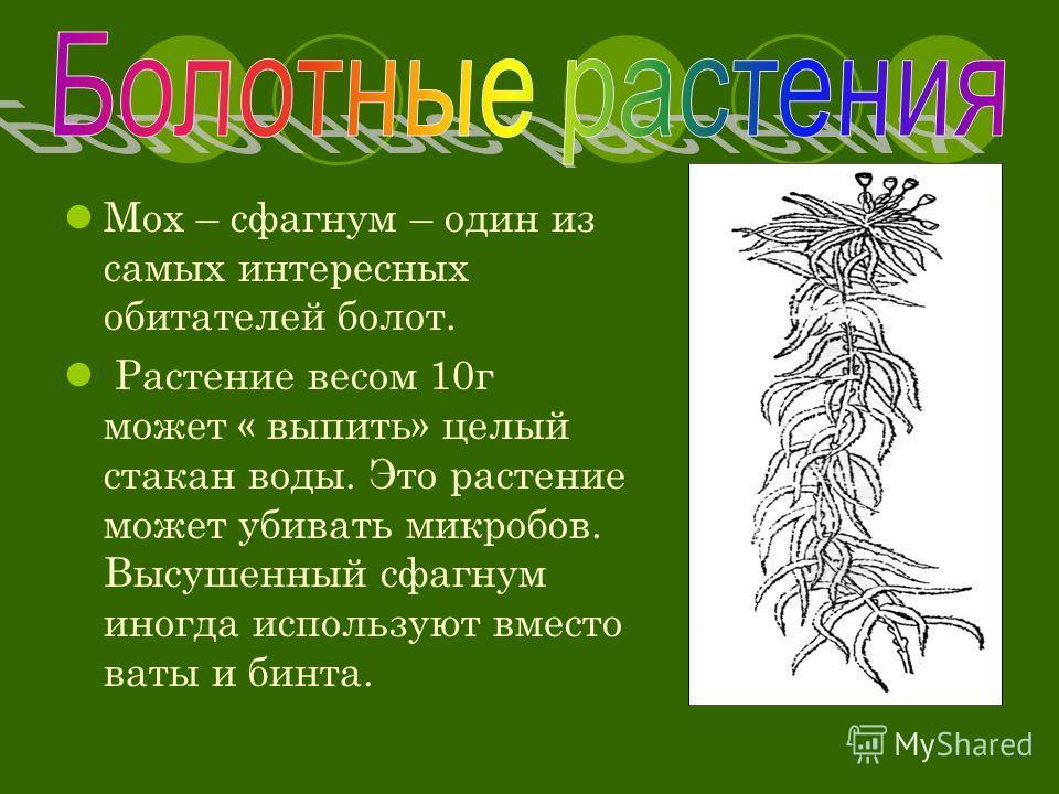 Мох – сфагнум – один из самых интересных обитателей болот. Растение весом 10г может « выпить» целый стакан воды. Это растение может убивать микробов. Высушенный сфагнум иногда используют вместо ваты и бинта.