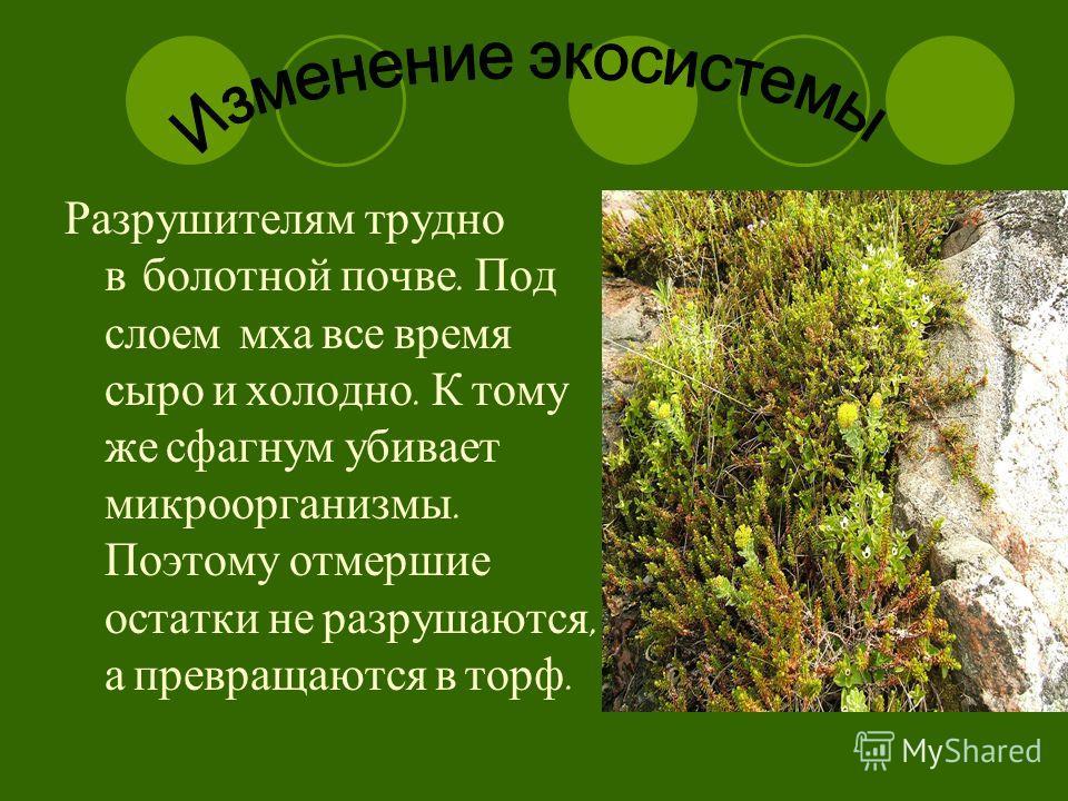Разрушителям трудно в болотной почве. Под слоем мха все время сыро и холодно. К тому же сфагнум убивает микроорганизмы. Поэтому отмершие остатки не разрушаются, а превращаются в торф.