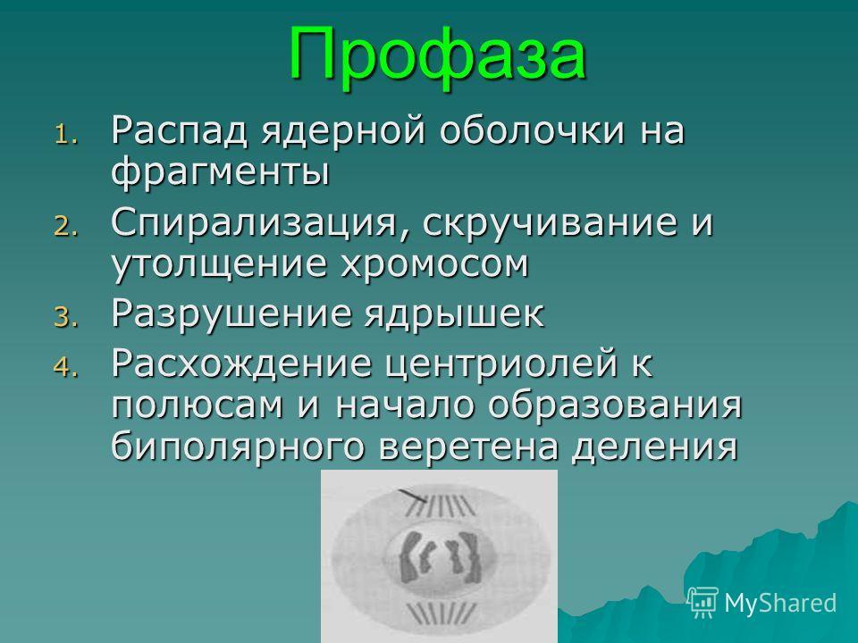 Профаза 1. Распад ядерной оболочки на фрагменты 2. Спирализация, скручивание и утолщение хромосом 3. Разрушение ядрышек 4. Расхождение центриолей к полюсам и начало образования биполярного веретена деления