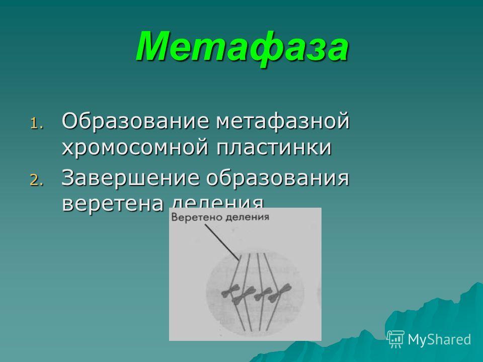 Метафаза 1. Образование метафазной хромосомной пластинки 2. Завершение образования веретена деления