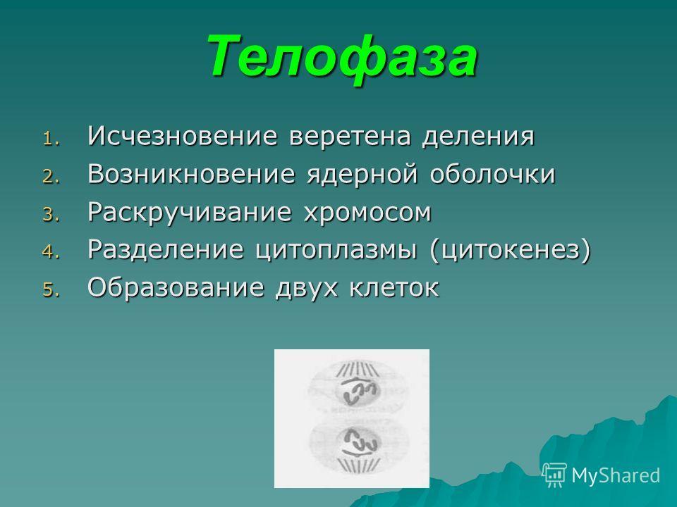 Телофаза 1. Исчезновение веретена деления 2. Возникновение ядерной оболочки 3. Раскручивание хромосом 4. Разделение цитоплазмы (цитокенез) 5. Образование двух клеток