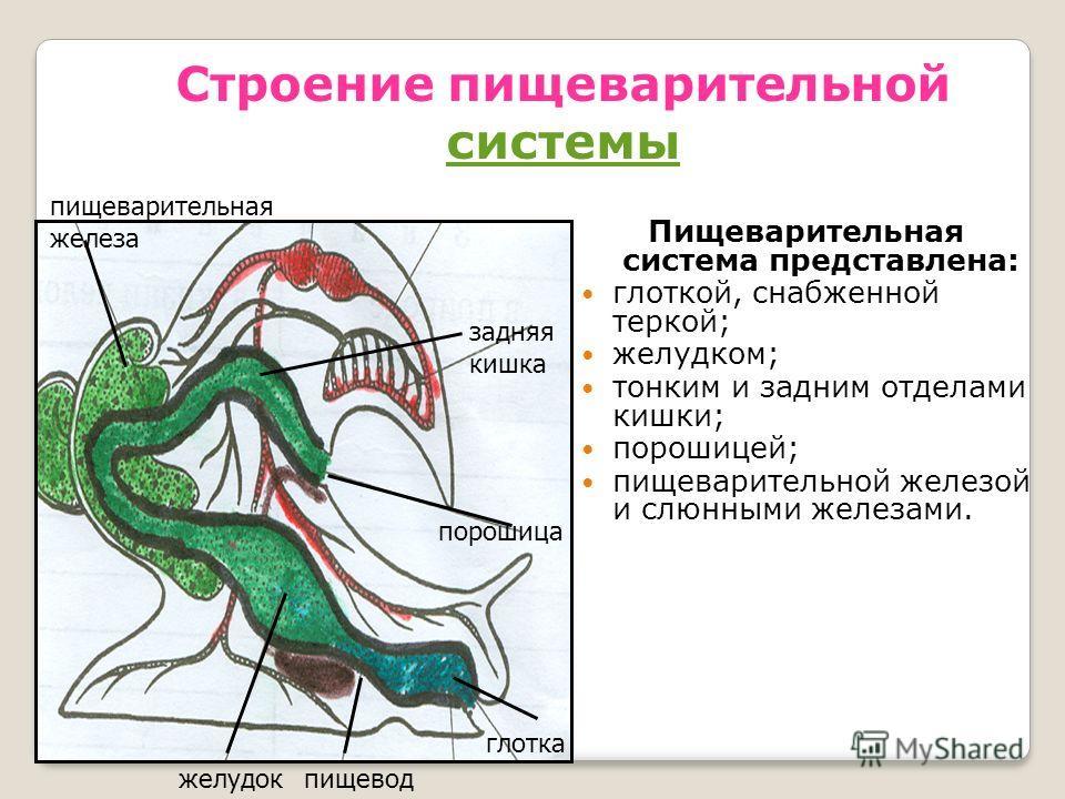 Строение пищеварительной системы системы Пищеварительная система представлена: глоткой, снабженной теркой; желудком; тонким и задним отделами кишки; порошицей; пищеварительной железой и слюнными железами. глотка пищеводжелудок порошица задняя кишка п