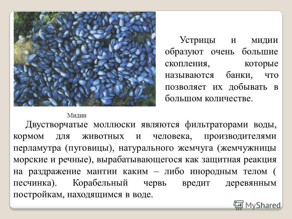 . Мидии Устрицы и мидии образуют очень большие скопления, которые называются банки, что позволяет их добывать в большом количестве. Двустворчатые моллюски являются фильтраторами воды, кормом для животных и человека, производителями перламутра (пугови
