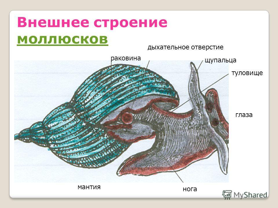 Внешнее строение моллюсков моллюсков раковина дыхательное отверстие щупальца глаза нога мантия туловище