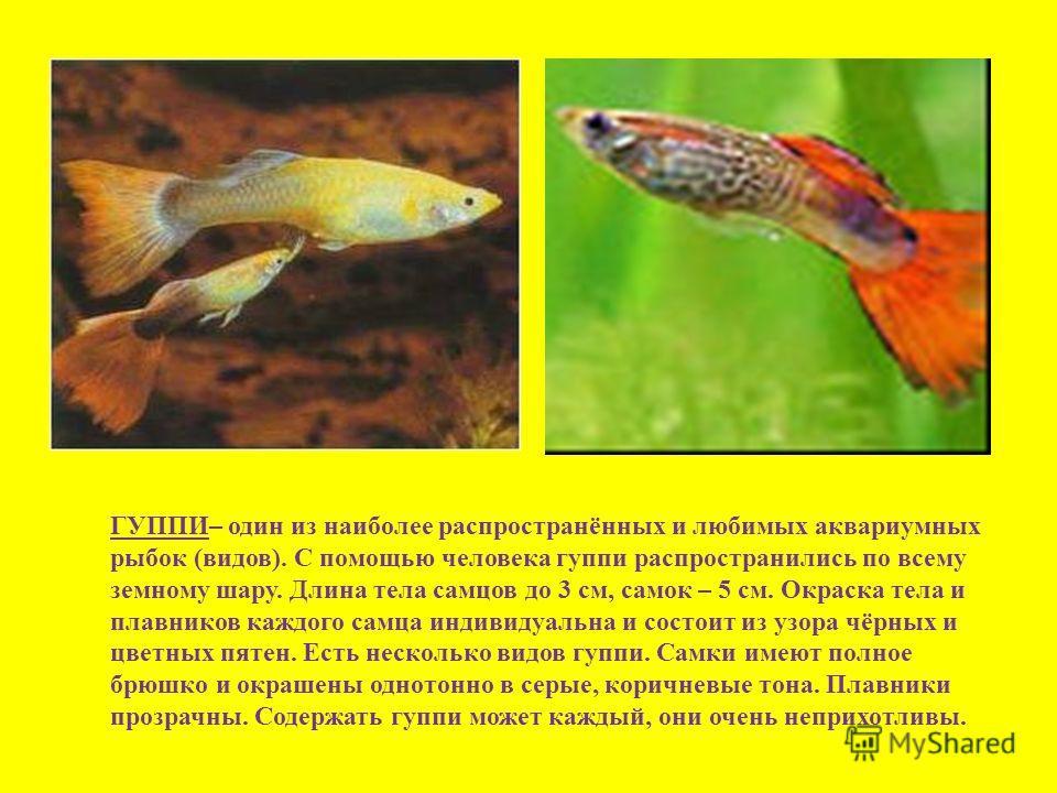 ГУППИ– один из наиболее распространённых и любимых аквариумных рыбок (видов). С помощью человека гуппи распространились по всему земному шару. Длина тела самцов до 3 см, самок – 5 см. Окраска тела и плавников каждого самца индивидуальна и состоит из