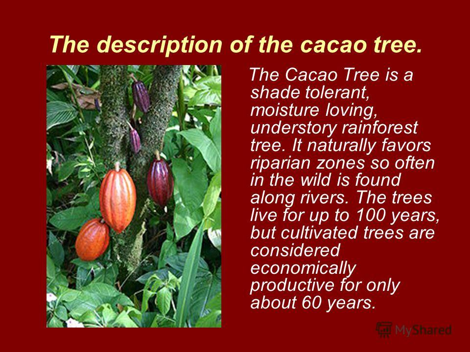 The description of the cacao tree. The Cacao Tree is a shade tolerant, moisture loving, understory rainforest tree. It naturally favors riparian zones so often in the wild is found along rivers. The trees live for up to 100 years, but cultivated tree
