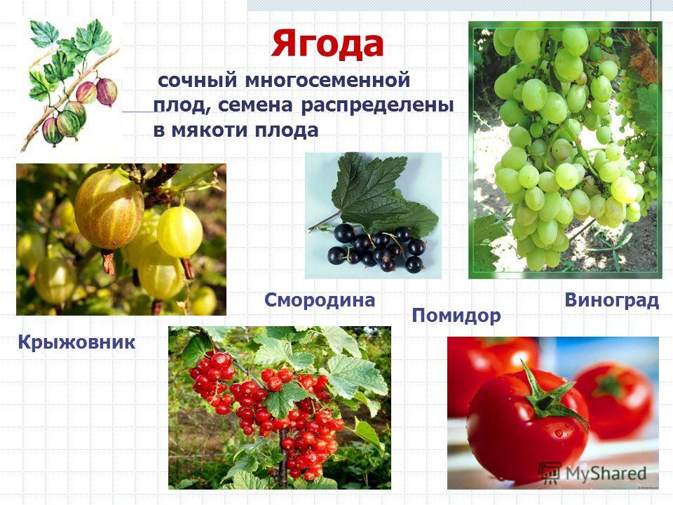 Ягода сочный многосеменной плод, семена распределены в мякоти плода Помидор СмородинаВиноград Крыжовник