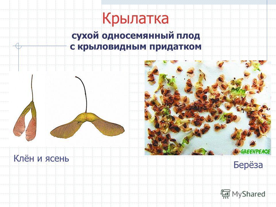 Крылатка сухой односемянный плод с крыловидным придатком Клён и ясень Берёза