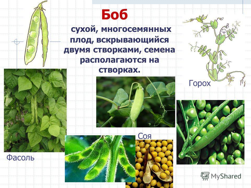 Боб сухой, многосемянных плод, вскрывающийся двумя створками, семена располагаются на створках. Горох Соя Фасоль