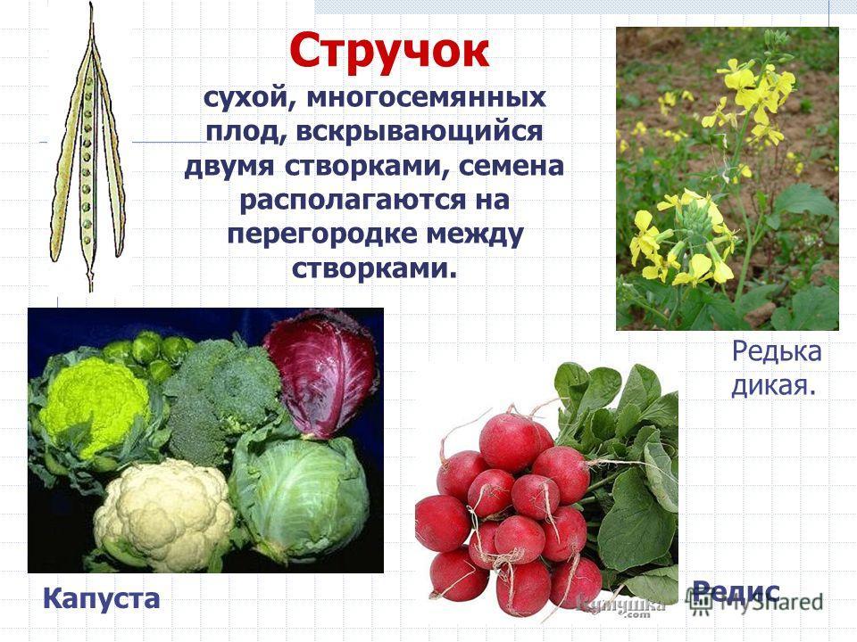 Стручок сухой, многосемянных плод, вскрывающийся двумя створками, семена располагаются на перегородке между створками. Капуста Редис Редька дикая.