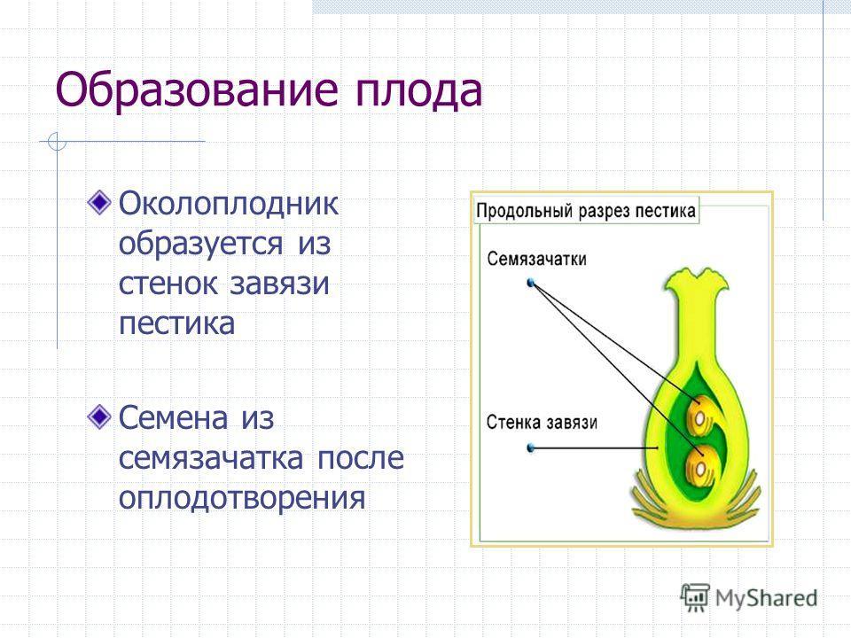 Образование плода Околоплодник образуется из стенок завязи пестика Семена из семязачатка после оплодотворения