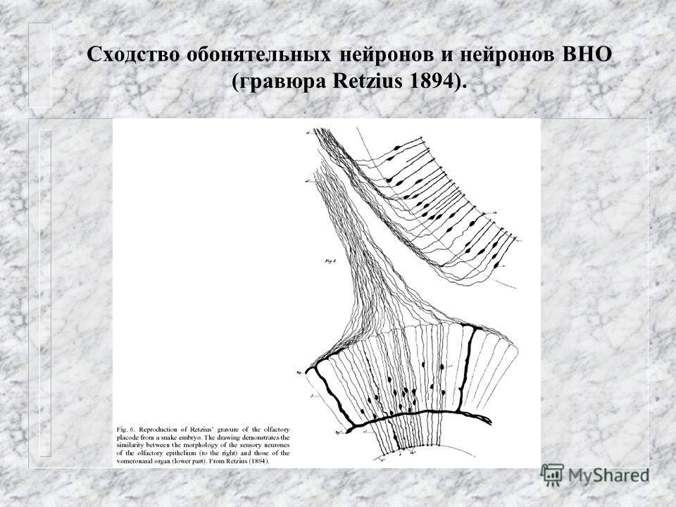 Сходство обонятельных нейронов и нейронов ВНО (гравюра Retzius 1894).