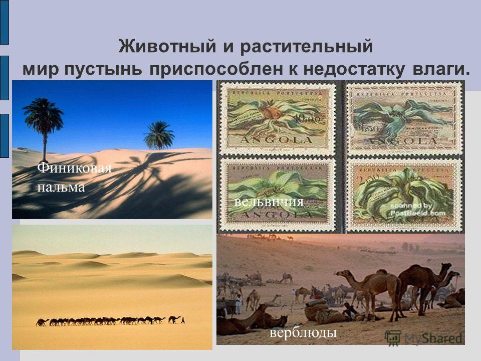 Животный и растительный мир пустынь приспособлен к недостатку влаги. Финиковая пальма вельвичия верблюды