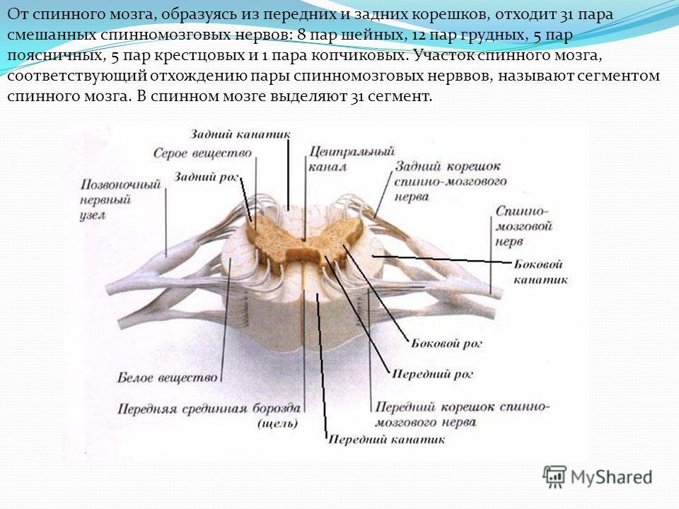 От спинного мозга, образуясь из передних и задних корешков, отходит 31 пара смешанных спинномозговых нервов: 8 пар шейных, 12 пар грудных, 5 пар поясничных, 5 пар крестцовых и 1 пара копчиковых. Участок спинного мозга, соответствующий отхождению пары