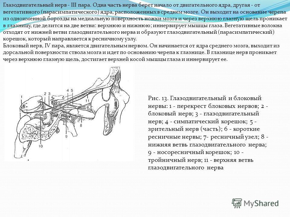 Глазодвигательный нерв - III пара. Одна часть нерва берет начало от двигательного ядра, другая - от вегетативного (парасимпатического) ядра, расположенных в среднем мозге. Он выходит на основание черепа из одноименной борозды на медиальную поверхност